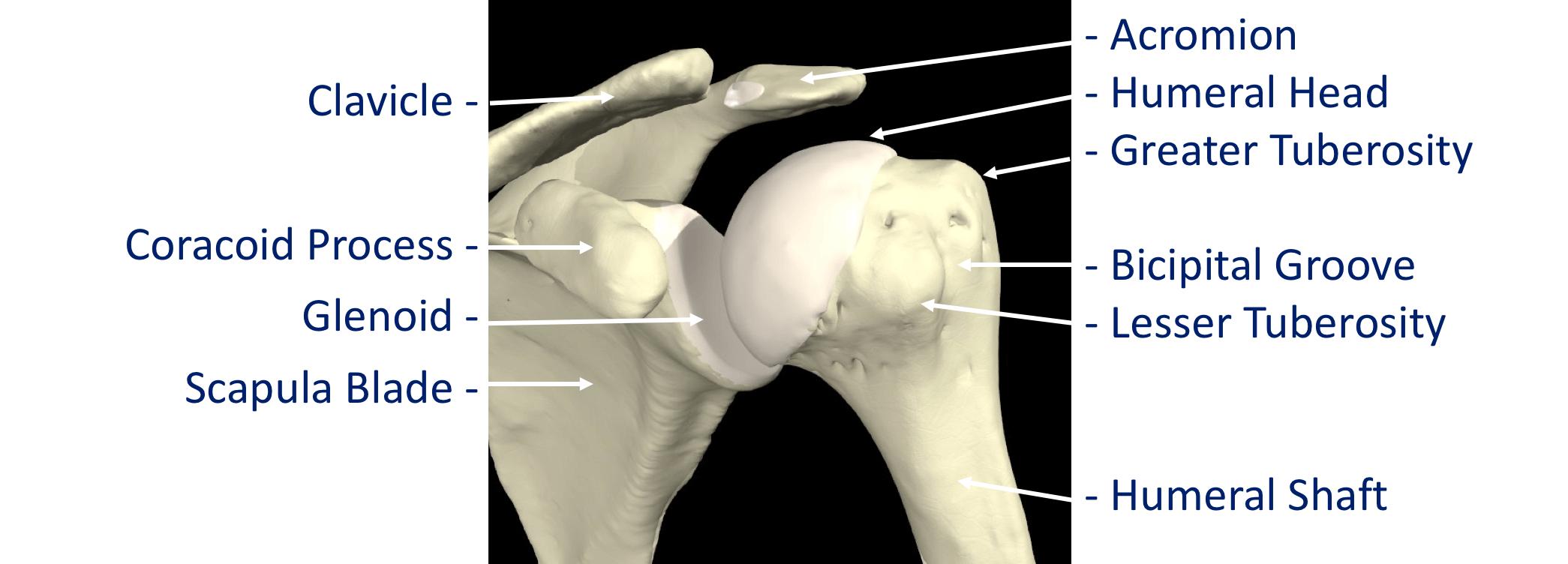 Shoulder - Cambridge Shoulder