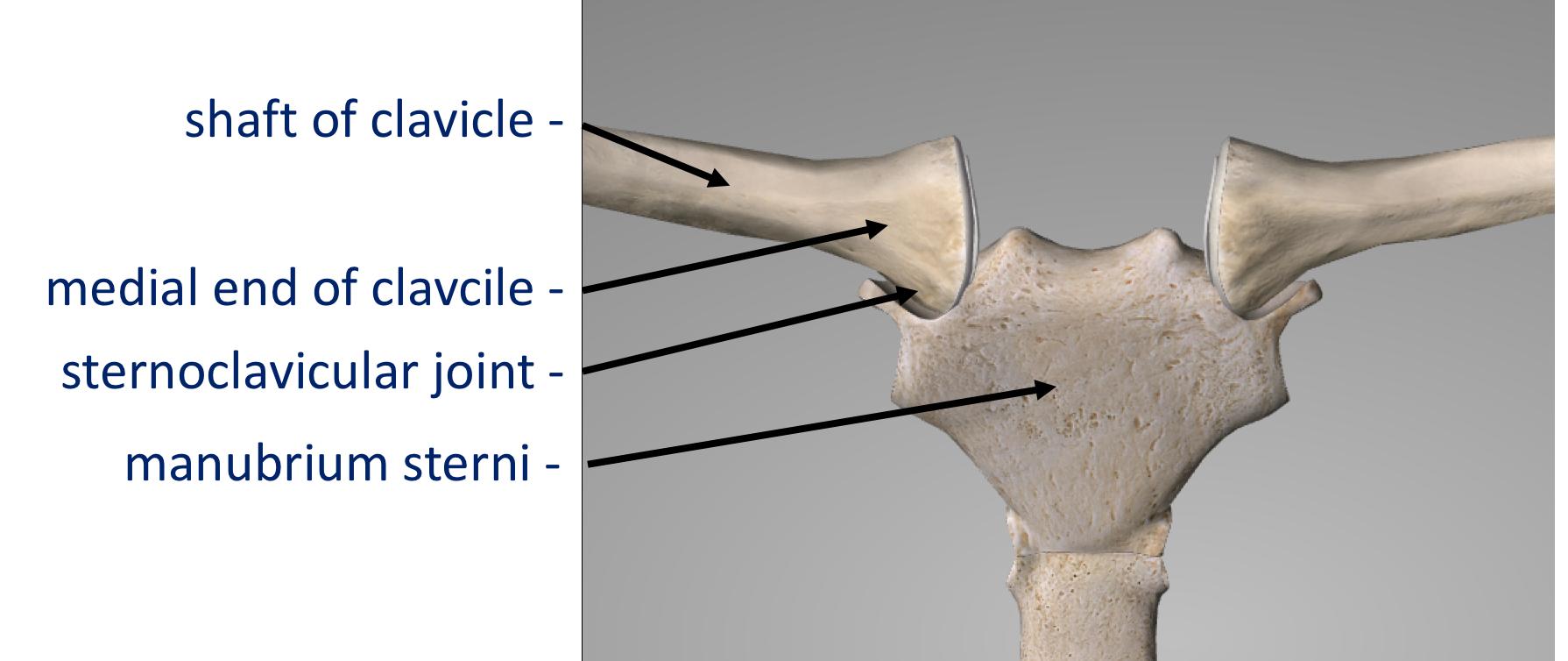Fig 3. Bones of the SCJ