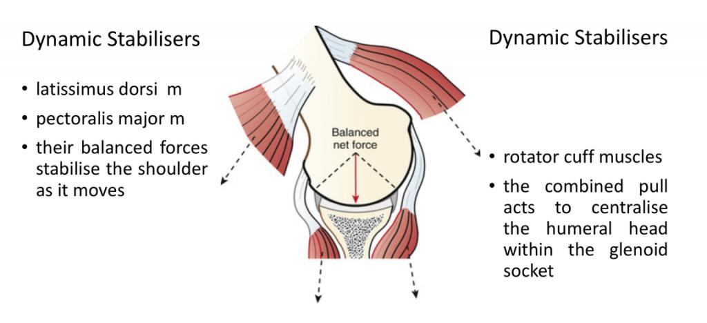 fig_4_dynamic_stabilisers_-_the_rotator_cuff_muscles_&_lat_dorsi_-_pec_ma
