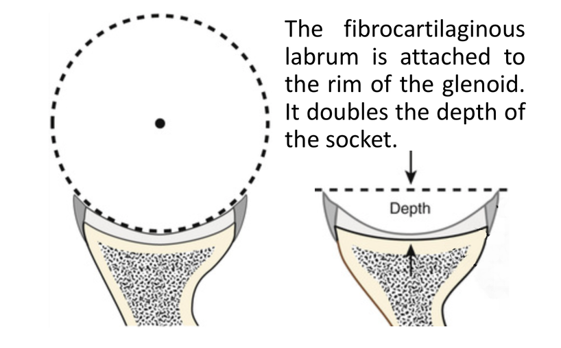 Fig 1. static stabilisers-humeral head glenoid with labrum; Labrum